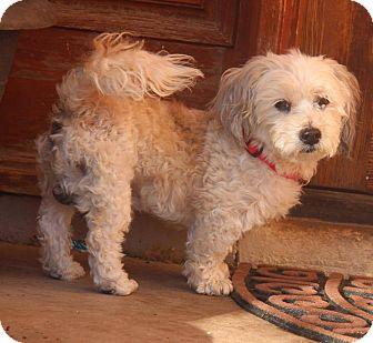 Lhasa Apso/Poodle (Miniature) Mix Dog for adoption in Phoenix, Arizona - Louie