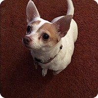 Chihuahua Mix Dog for adoption in Indianapolis, Indiana - Tinkerbell