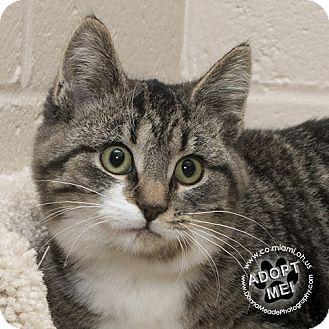 Domestic Shorthair Kitten for adoption in Troy, Ohio - Petunia