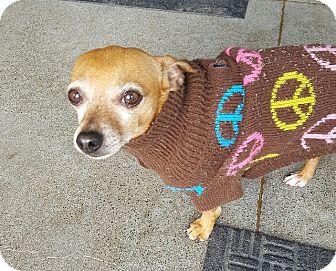 Chihuahua Mix Dog for adoption in Berkeley, California - Moe