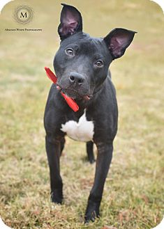 Labrador Retriever/American Pit Bull Terrier Mix Dog for adoption in St. Louis, Missouri - Astaire