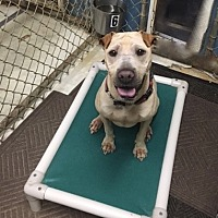 Shar Pei Dog for adoption in Houston, Texas - Lucy