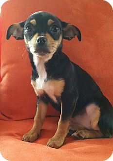 Chihuahua Puppy for adoption in Bridgeton, Missouri - Blanch-Adoption pending