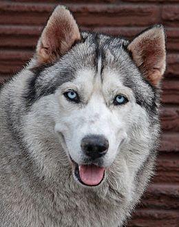 Husky Mix Dog for adoption in Los Angeles, California - Roy von Lollar