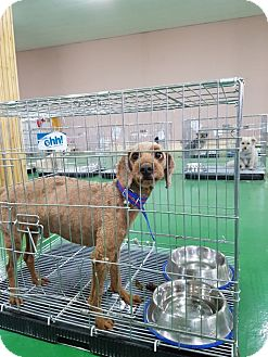 Poodle (Miniature) Mix Dog for adoption in Ft Collins, Colorado - Charlie