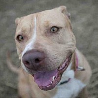 Pit Bull Terrier Mix Dog for adoption in Austin, Texas - *DEENA