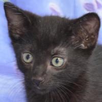 Adopt A Pet :: Adam - Englewood, FL