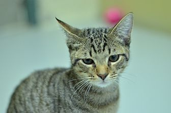 Domestic Shorthair Cat for adoption in Brooksville, Florida - 10312092