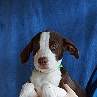 Adopt A Pet :: Sailor - Oviedo, FL