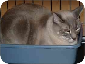 Siamese Cat for adoption in Diamond Bar, California - ASANA