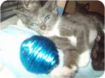 Domestic Shorthair Kitten for adoption in Little Neck, New York - wee