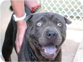 Shar Pei Dog for adoption in Scott, Louisiana - Connery