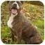 Photo 2 - Boxer/Pit Bull Terrier Mix Dog for adoption in Peoria, Illinois - Sammie Sue