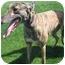 Photo 1 - Greyhound Dog for adoption in San Diego, California - Dena