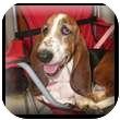 Basset Hound Dog for adoption in Marietta, Georgia - George Ann