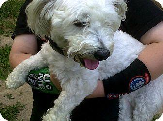 Maltese/Poodle (Miniature) Mix Dog for adoption in cameron, Missouri - fifi