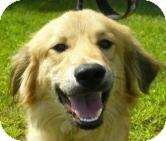 Golden Retriever/Retriever (Unknown Type) Mix Dog for adoption in Lincolnton, North Carolina - Sarge