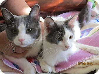 Domestic Mediumhair Cat for adoption in Rancho Cordova, California - Amber