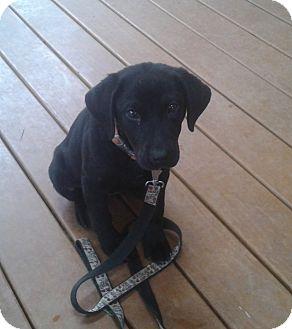 Labrador Retriever Mix Puppy for adoption in Cumming, Georgia - Gracie