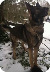 German Shepherd Dog Mix Dog for adoption in Louisville, Kentucky - Sampson