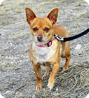 Chihuahua Mix Dog for adoption in Cheyenne, Wyoming - Juliet