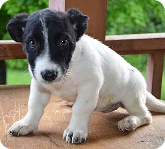 Border Collie Mix Puppy for adoption in Spring Valley, New York - Ivory