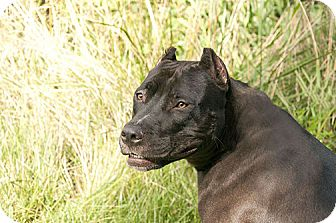 American Pit Bull Terrier/Mastiff Mix Dog for adoption in Des Peres, Missouri - Koko