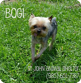 Yorkie, Yorkshire Terrier Dog for adoption in Laplace, Louisiana - Bogi and Boogie