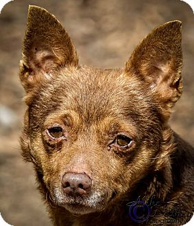 Chihuahua Mix Dog for adoption in Westminster, California - Midas