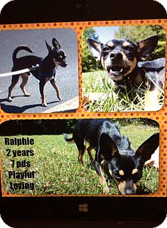Chihuahua Dog for adoption in S. Pasedena, Florida - Ralphie