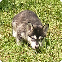 Adopt A Pet :: Moose - Rigaud, QC