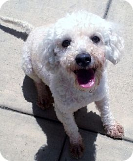 Poodle (Miniature) Dog for adoption in Vista, California - Ace