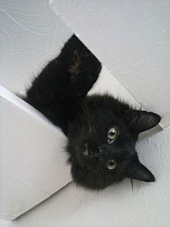 Domestic Mediumhair Cat for adoption in Clarkson, Kentucky - Oz