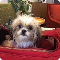 Adopt A Pet :: Lilah - New York, NY
