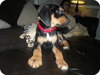 Hound (Unknown Type)/Labrador Retriever Mix Puppy for adoption in Charlotte, North Carolina - Tuesday (Days of the Week Ltr)