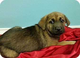 Labrador Retriever Mix Puppy for adoption in Ahoskie, North Carolina - Zeva