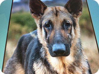 German Shepherd Dog Dog for adoption in Los Angeles, California - JAKE VON JICH
