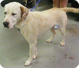 Pointer/Labrador Retriever Mix Dog for adoption in Olive Branch, Mississippi -