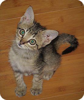 Domestic Shorthair Kitten for adoption in Coldspring, Texas - Kat Fische