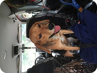 Beagle/Hound (Unknown Type) Mix Dog for adoption in Media, Pennsylvania - Toby