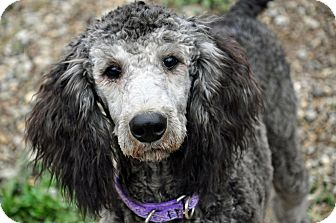 Standard Poodle Puppy for adoption in Pleasant Plain, Ohio - Mmiri