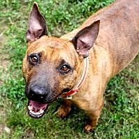 Pit Bull Terrier Dog for adoption in Memphis, Tennessee - Oliver
