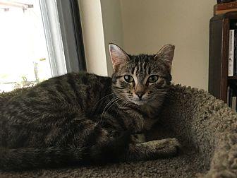 Domestic Shorthair Kitten for adoption in New Port Richey, Florida - Cinnamon