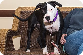 American Staffordshire Terrier Mix Dog for adoption in Livonia, Michigan - Noelle