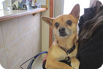 Chihuahua/Rat Terrier Mix Dog for adoption in Reed City, Michigan - BAILEY