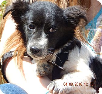 Corgi/Terrier (Unknown Type, Small) Mix Puppy for adoption in Niagara Falls, New York - Tommy (9 lb) 100% Adorable
