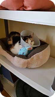 Domestic Shorthair Cat for adoption in Chicago, Illinois - Leyla