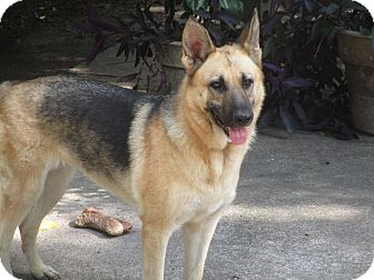 German Shepherd Dog/German Shepherd Dog Mix Dog for adoption in Wilwaukee, Wisconsin - A - CASSIDY