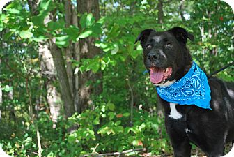 Labrador Retriever Mix Dog for adoption in New Castle, Pennsylvania - Jack Black
