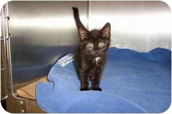 Domestic Shorthair Kitten for adoption in Secaucus, New Jersey - Shannon